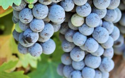 De geschiedenis van wijn: Waar komt wijn vandaan?